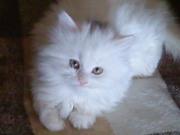 Красивый персидско-ангорский котёнок!