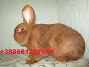 Продам кроликов породы Новозеландский красный .