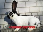 Продам кроликов породы Немецкий пестрый великан