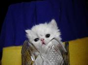 Белый перс.котёнок - нарядный как невеста.