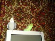 Продам попугая - полу-чех,  зеленый,  молодой,  на развод,  говорит