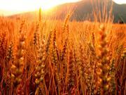 Продам жито!!!!!!!!!!