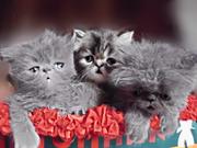 ГОЛУБОЙ перс.котёнок - ласковый друг.
