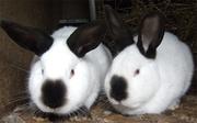 Кролиководство-предлагаем заработать!