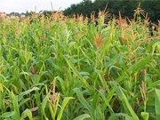 Продаем кукурузу по Чернигову