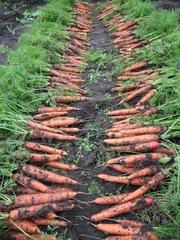Морковь с домашнего огорода