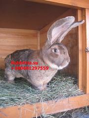 Продам кроликов породы Бельгийский великан