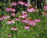 Ехінацеї квітки ( Эхинацеи цветки ) у великих об'ємах