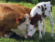 Коровы,  телки,  бычки Красно-пестрый Голштин