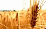 Куплю ячмень,  пшеницу,  кукурузу,  горох,  просо на постоянной основе
