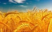 Предлагаем пшеницу на экспорт.