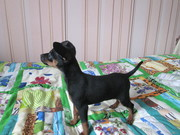 Продам щенка  цвергпинчера (карликовый пинчер)