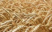 Продам пшеницу на экспорт.