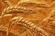 Пшеница на экспорт.