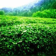 Продажа чая с китайской провинции Анхой
